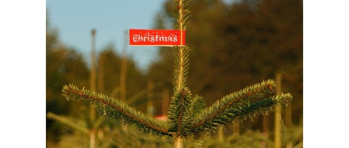 Real or Fake? We're talking Christmas trees