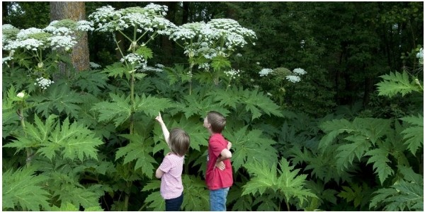 Warnings Issued As Children Burned By Poisonous Giant Hogweed Plants