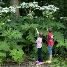 Warning Issued Over Poisonous Giant Hogweed