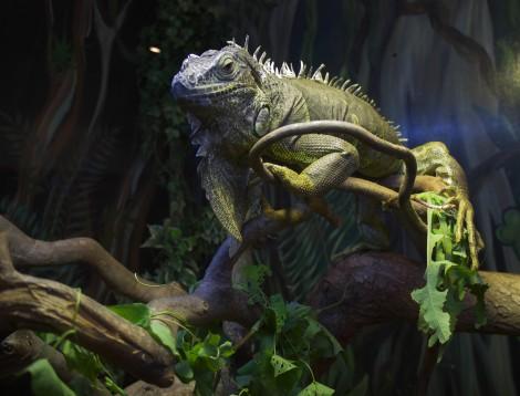 iguanaHighRes