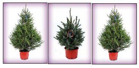 Christmas Trees at BQ