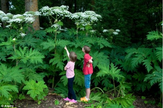 More Children Burned By Poisonous Giant Hogweed Plant (Graphic Images)